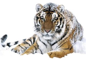 Амурский тигр – преимущества карты к вкладу